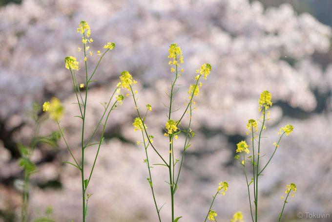 中ノ島の菜の花と桜