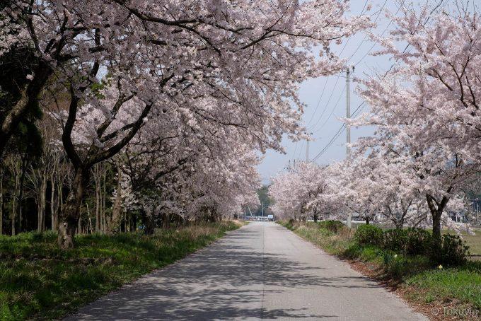河毛駅近くの桜並木
