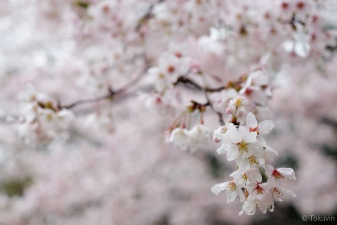 旧米原小学校前の桜