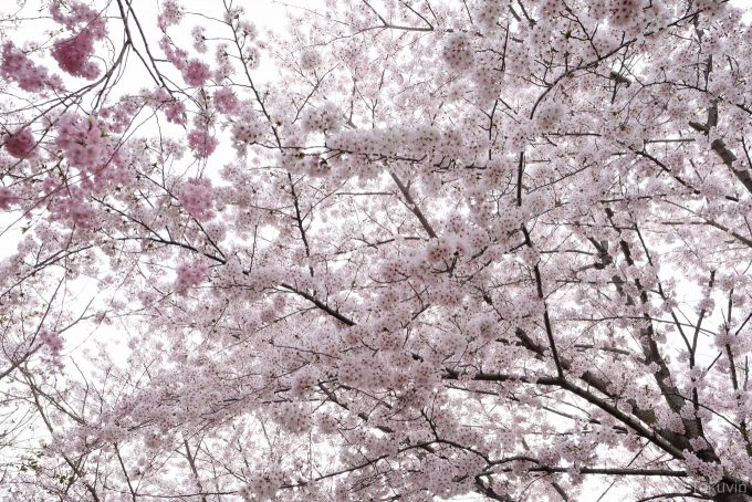 丸亀城 二の丸付近の桜 (X-T1 + XF16mm F1.4R)