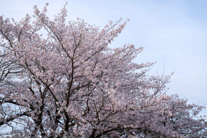 丸亀城の桜 (X-T1 + XF35mm F1.4)