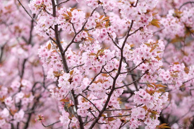 造幣局の桜(X-T1 + XF90mm F2R)