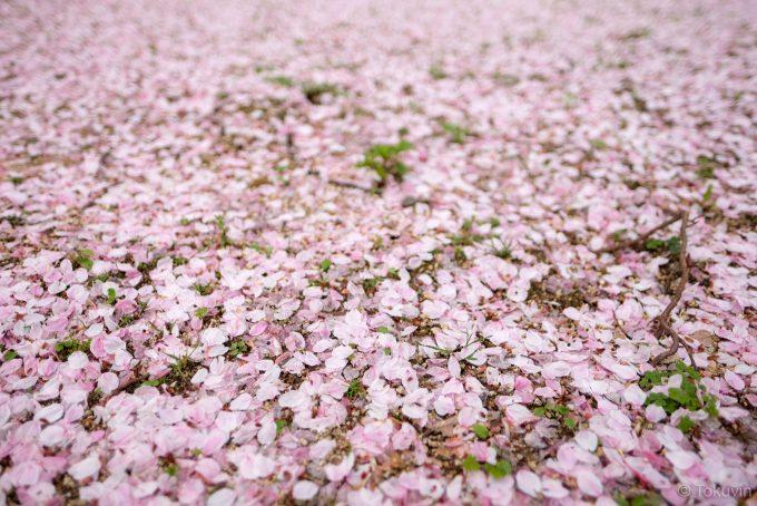 造幣局の桜(X-T1 + XF16mm F1.4R)