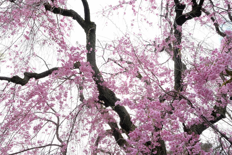 二条城の枝垂れ桜。