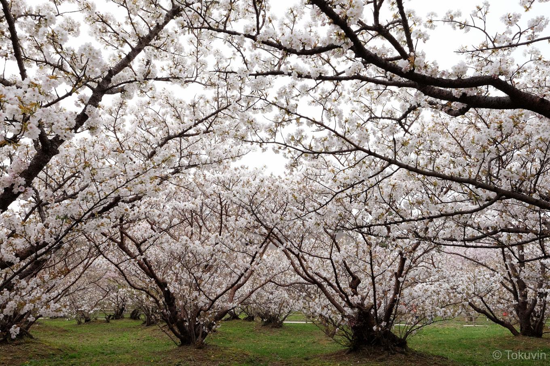 仁和寺 御室桜。