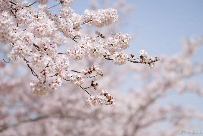 栗林公園の桜(X-T1 + XF90mm F2R)