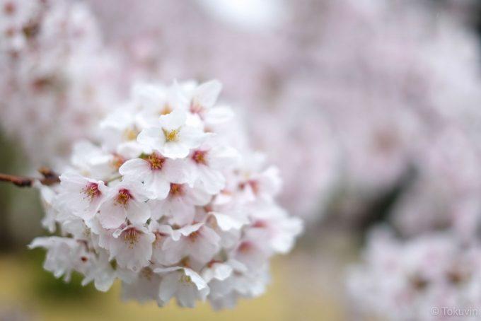 長浜バイオ大学の桜