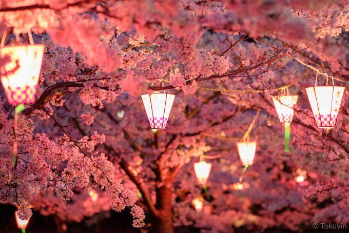 ぼんぼりに照らされた桜 (X-T1 + XF90mm F2R)