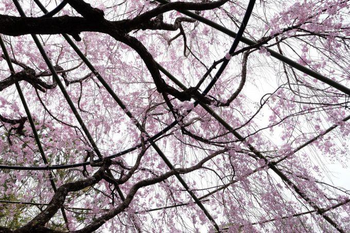 退蔵院 紅しだれ桜