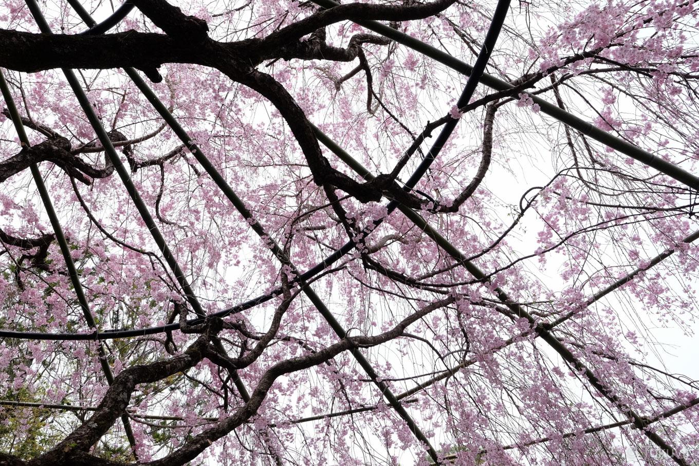 退蔵院 紅しだれ桜。