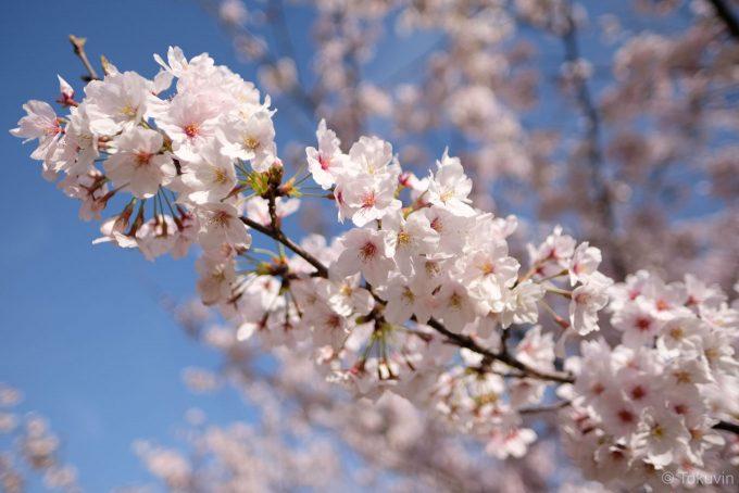 高松城の桜