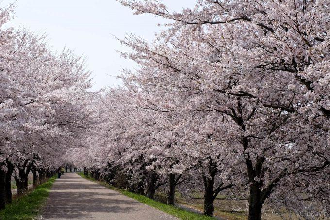 高時川堤防の桜