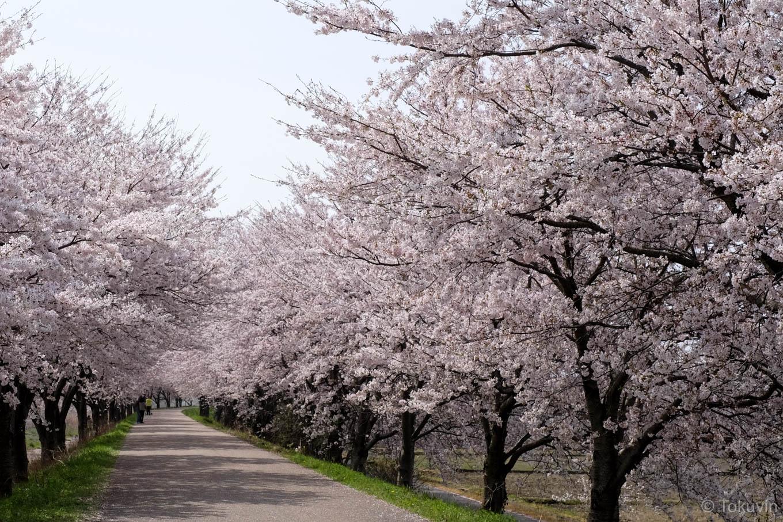高時川堤防の桜。