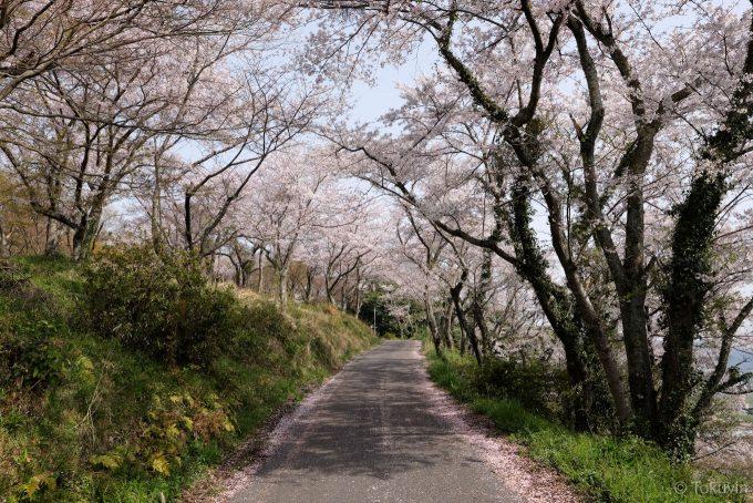 桜の中を虎御前山へと上がっていく