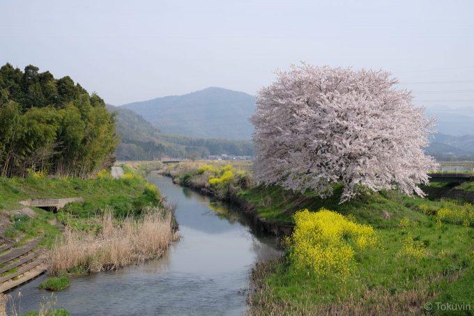 田川沿いの桜 (X-T1 + XF35mm F1.4R)
