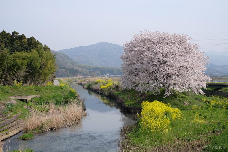 田川沿いの桜。