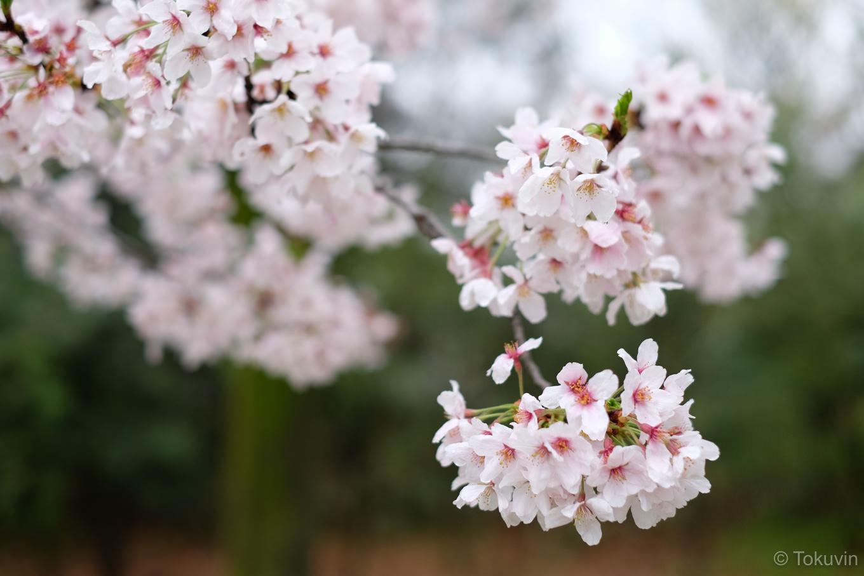 梅小路公園の桜。