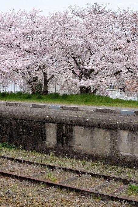 善通寺駅裏の桜(X-T1 + XF35mm F1.4R)