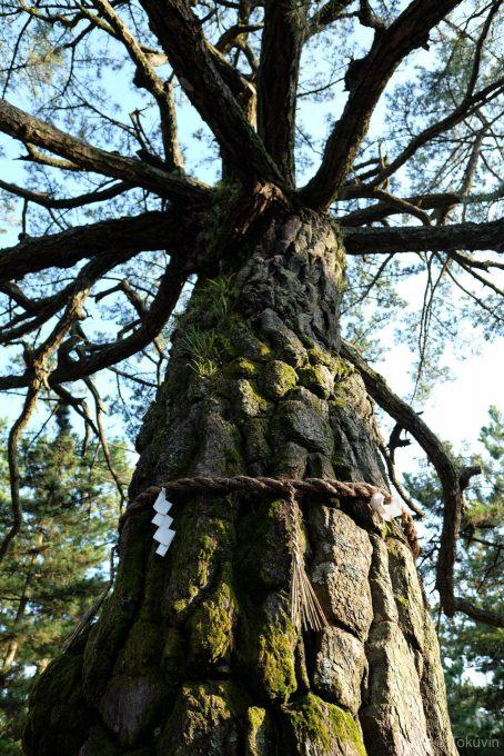 津田の松原の大きな松