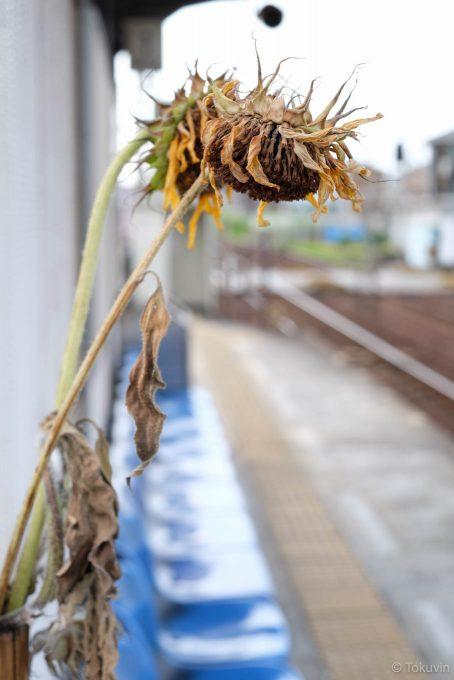 八栗口駅ホームのひまわり