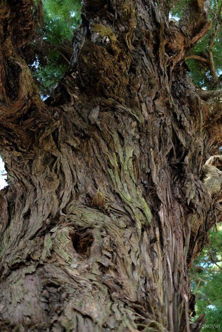 長命杉の木肌