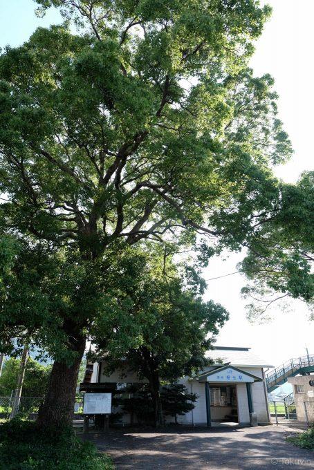 駅前にそびえる大きな木