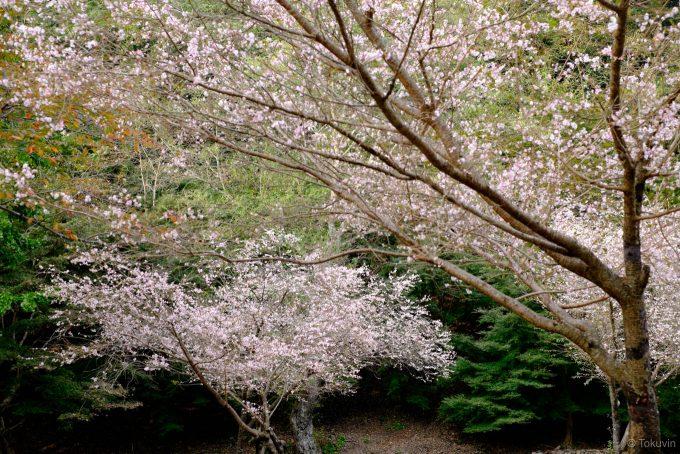 御本殿の近くにある季節外れの桜の花