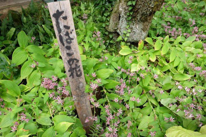 たばこの花咲く前庭