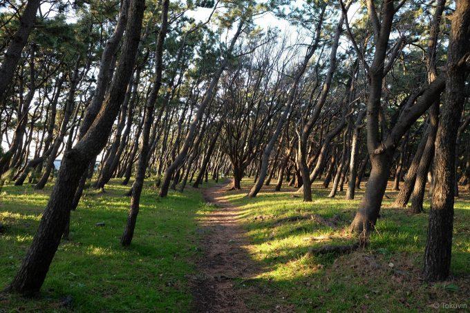 千本松原の松林の中
