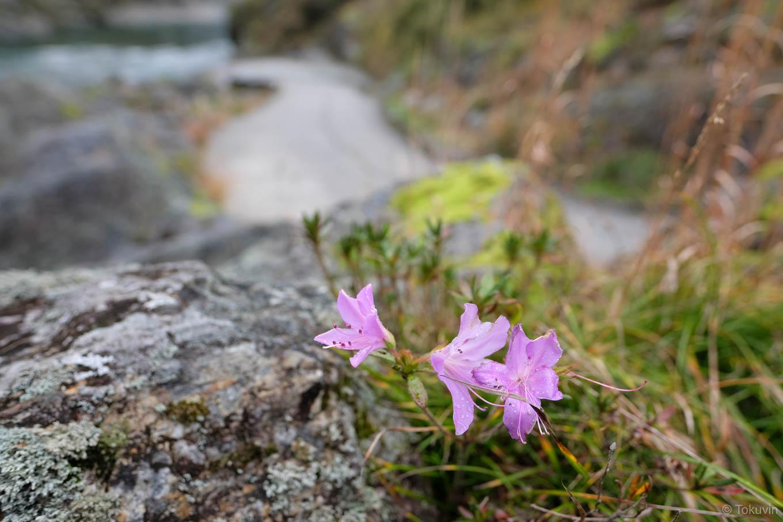 吉野川の岩場に咲く花。