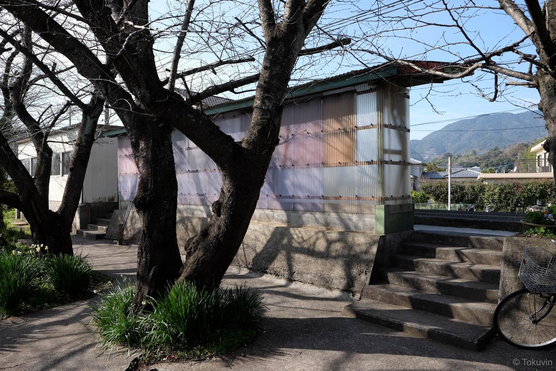 ホーム裏手の桜並木。