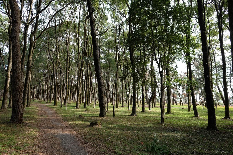 海岸沿いに広がる松林。
