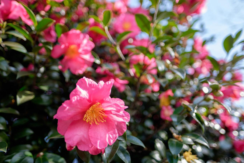 ホーム上で咲くサザンカ。