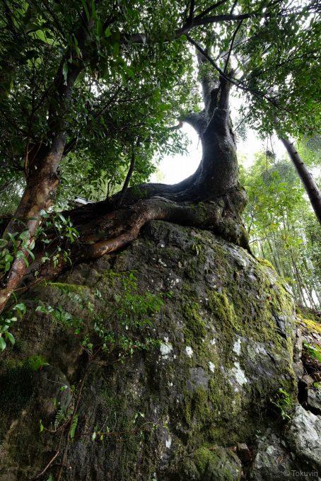 岩の上に生える木