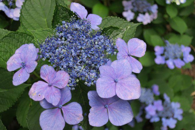 G9Xで撮影した紫陽花(1/125 F4 ISO125)