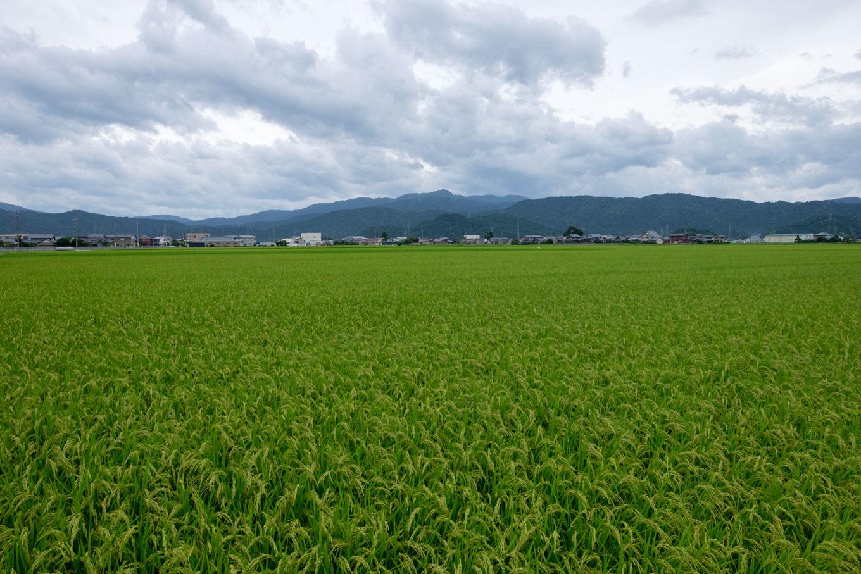 足羽駅周辺に広がる田んぼ。