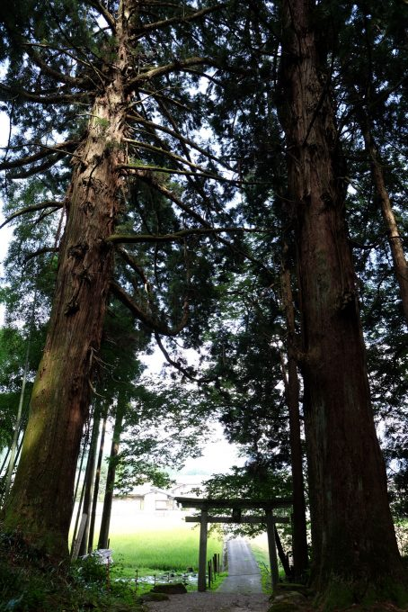 鳥居の両脇にそびえる八幡神社の大杉 (FUJIFILM X-T1 + XF16mm F1.4R)