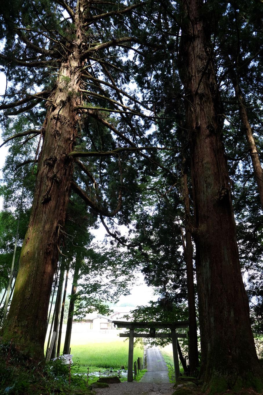 鳥居の両脇にそびえる八幡神社の大杉。