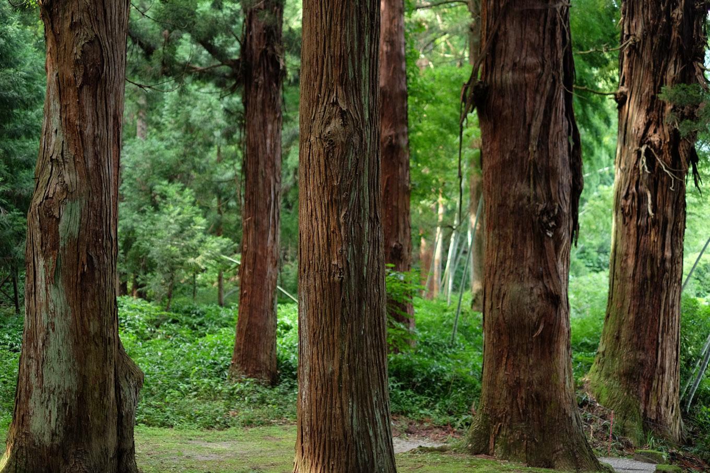 八幡神社境内に立ち並ぶスギ。