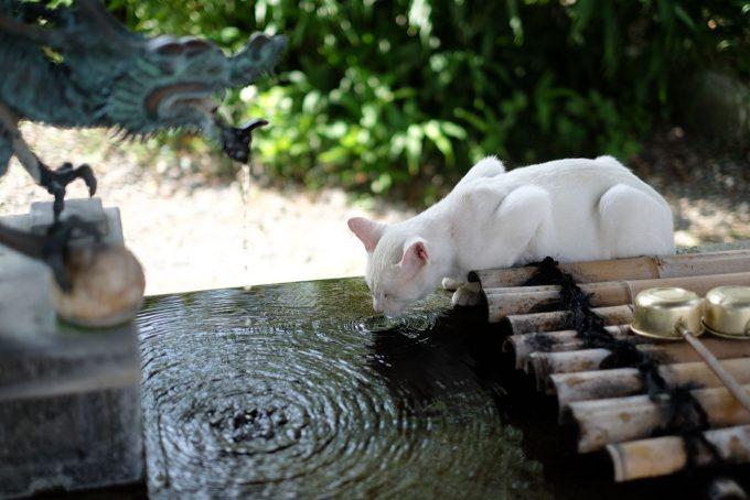 手水舎は猫の水飲み場 (FUJIFILM X-T1 + XF35mm F1.4R)