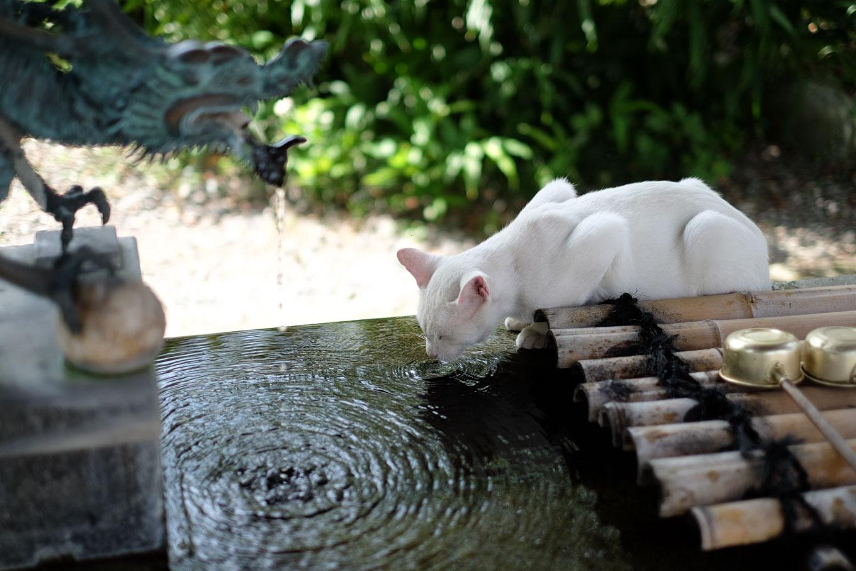 手水舎で水を飲む白猫。