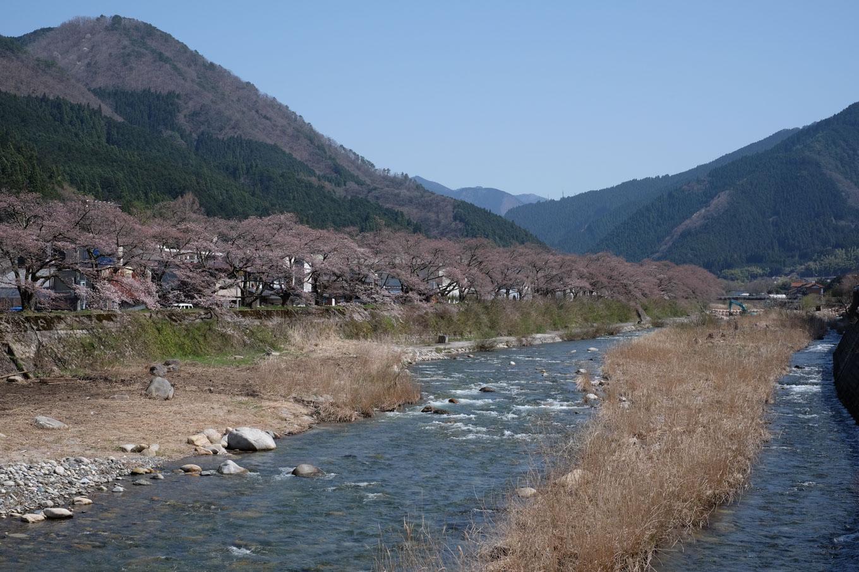 千代川沿いの桜土手。