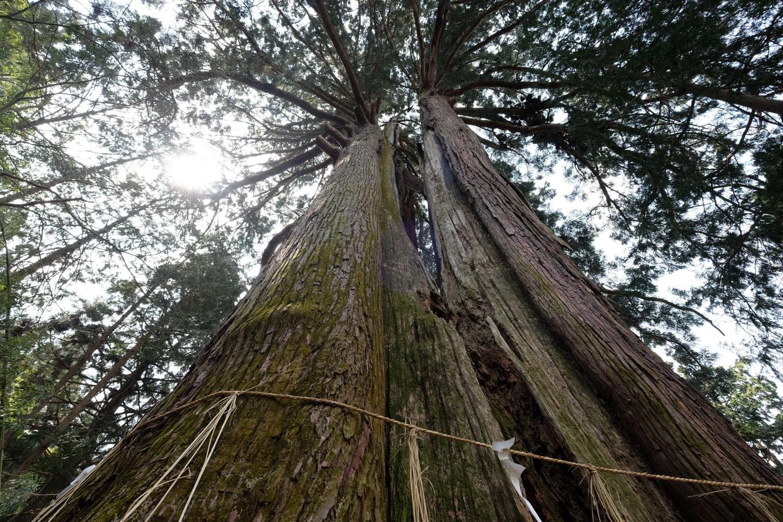 朝倉神社の大杉。