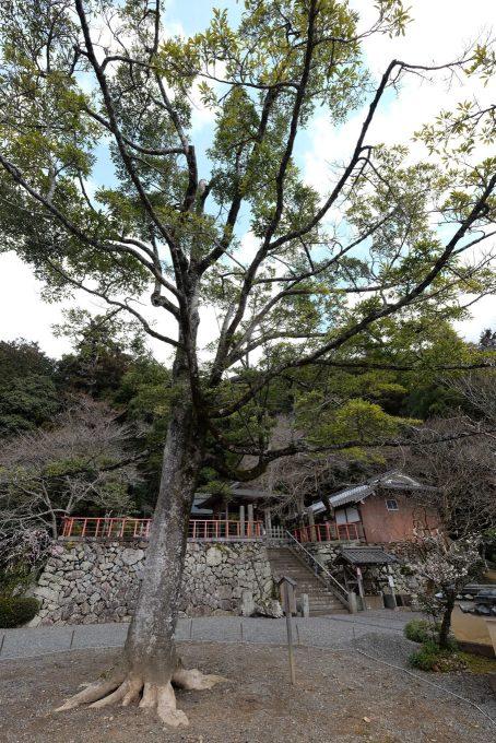池尻天満宮のオガタマノキ (FUJIFILM X-T1 + XF10-24mm F4R)