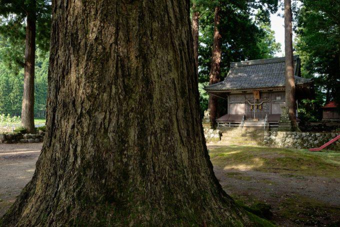 樹齢およそ400年の大イチョウ (FUJIFILM X-T1 + XF16mm F1.4R)