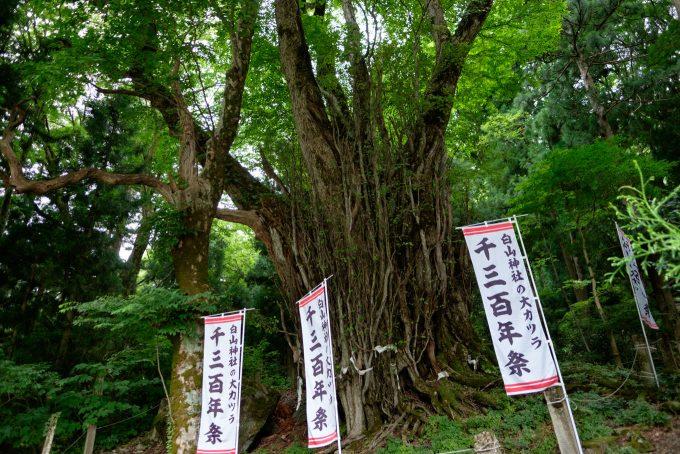 白山神社の大カツラ (FUJIFILM X-T1 + XF16mm F1.4R)