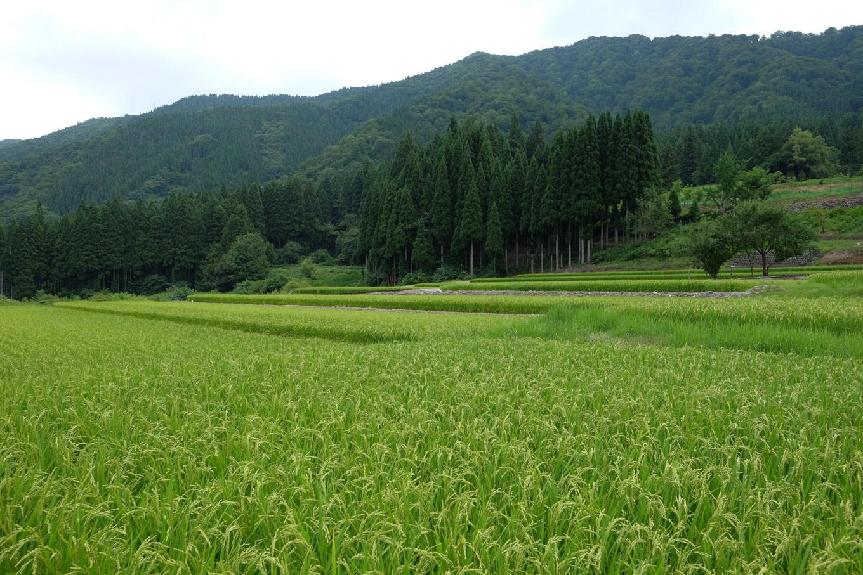 下山地区に広がる田んぼ。