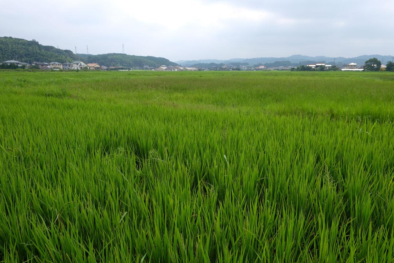 厚狭盆地に広がる水田。
