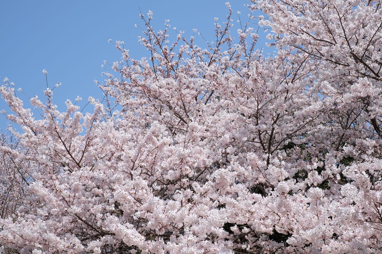 園内の桜はちょうど見頃。