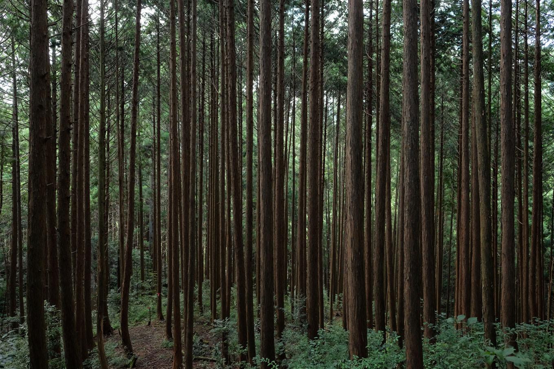 荘ノ尾城跡の薄暗い杉林。